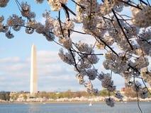 Fleurs de cerise de Washington d 2012 Image libre de droits