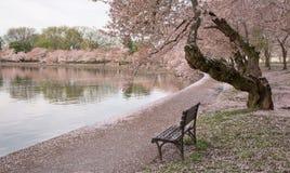Fleurs de cerise de Washington DC Images libres de droits