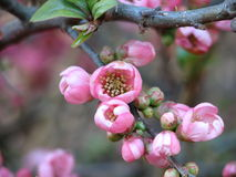 Fleurs de cerise en île de Vancouver Images libres de droits