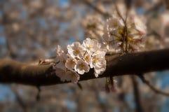 Fleurs de cerise en stationnement Photos stock
