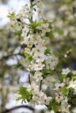 Fleurs de cerise en stationnement Photos libres de droits