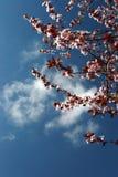 Fleurs de cerise et un ciel clair Image libre de droits