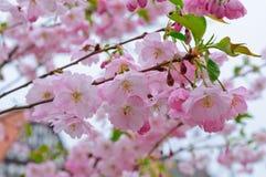 Fleurs de cerise et une ville européenne Photos libres de droits