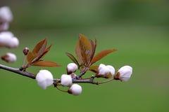 Fleurs de cerise fleurissant dans le printemps Image libre de droits