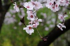 Fleurs de cerise fleurissant dans le printemps Photos stock