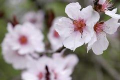 Fleurs de cerise fleurissant dans le printemps Photo stock