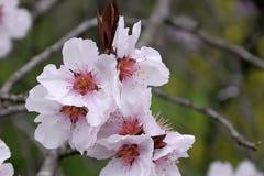 Fleurs de cerise fleurissant dans le printemps Photographie stock libre de droits