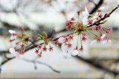 Fleurs de cerise japonaises Images stock