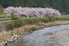 Fleurs de cerise ou de Sakura Photo libre de droits
