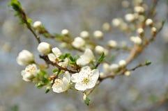 fleurs de Cerise-prune Photographie stock libre de droits