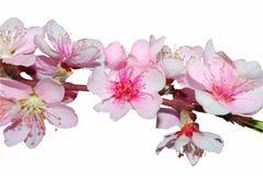 Fleurs de cerise roses Photos libres de droits