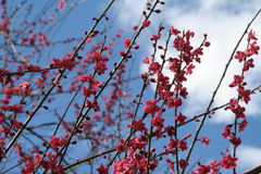 Fleurs de cerise roses Photos stock
