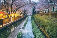 Fleurs de cerise sakura image libre de droits