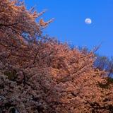 Fleurs de cerise sous la lune Photographie stock libre de droits