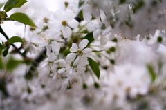 Fleurs de cerise sur l'arbre photo stock