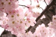 Fleurs de cerise tout autour Photos libres de droits