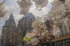 Fleurs de cerisier à Amsterdam photos libres de droits