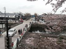 Fleurs de cerisier à Hikone Photo stock