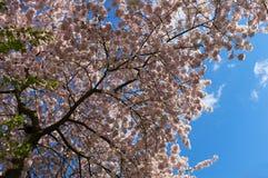 Fleurs de cerisier à la lumière du soleil Photographie stock libre de droits