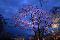 Fleurs de cerisier à Sakura aucune scène de nuit de Sato Photo stock
