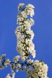 Fleurs de cerisier. Photos stock