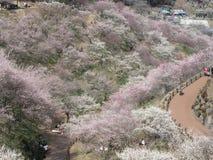 Fleurs de cerisier Photos libres de droits