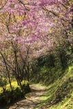 Fleurs de cerisier Photographie stock libre de droits