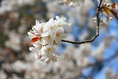 Fleurs de cerisier Photo libre de droits