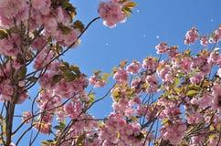 Fleurs de cerisier Photographie stock