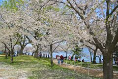 Fleurs de cerisier images libres de droits