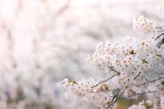 Fleurs de cerisier abstraites au printemps Image stock