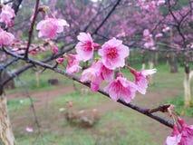 Fleurs de cerisier après avoir plu Image libre de droits