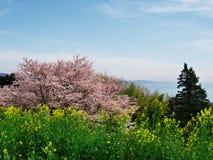 Fleurs de cerisier au château d'Ichiya de ruines Photographie stock