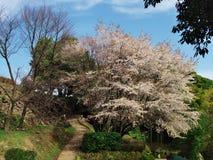 Fleurs de cerisier au château d'Ichiya de ruines Photo stock