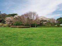 Fleurs de cerisier au château d'Ichiya de ruines Photos stock