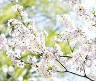 Fleurs de cerisier au-dessus de fond brouillé de nature avec le bokeh Photos stock