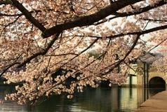Fleurs de cerisier au-dessus de pont Photos stock