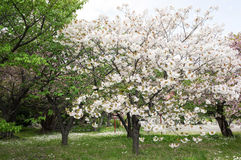 Fleurs de cerisier au Hokkaido Japon Photographie stock libre de droits