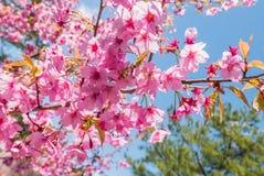 Fleurs de cerisier au parc de château de Hirosaki Photo stock