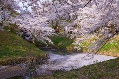 Fleurs de cerisier au parc de Hirosaki Image libre de droits