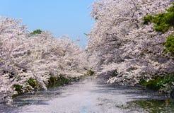 Fleurs de cerisier au parc de Hirosaki Photographie stock