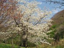 Fleurs de cerisier au parc de montagne de Maku Images stock