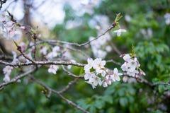 fleurs de cerisier au printemps photos stock