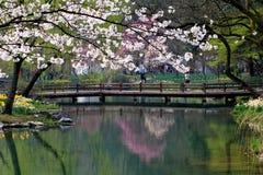 Fleurs de cerisier au printemps Images stock