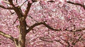 fleurs de cerisier au printemps banque de vidéos