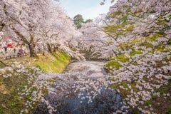 Fleurs de cerisier au printemps au château de Hirosaki, préfecture d'Aomori, J Photographie stock libre de droits