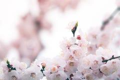 Fleurs de cerisier au printemps avec le foyer mou Photos libres de droits