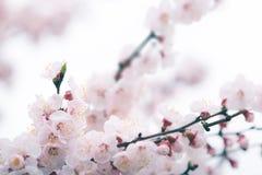 Fleurs de cerisier au printemps avec le foyer mou Image stock