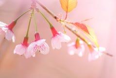 Fleurs de cerisier au printemps avec le foyer mou images libres de droits