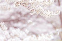 Fleurs de cerisier au printemps avec le foyer mou, fond Images stock
